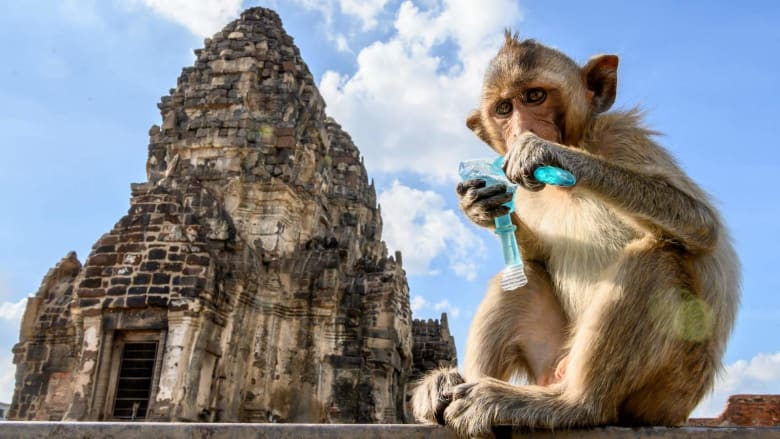 شاهد كيف تتعايش هذه المدينة مع آلاف القردة التي تعيش في شوارعها
