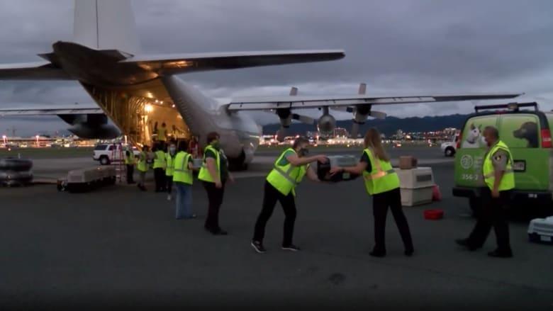 أكبر عملية إنقاذ جوي في التاريخ.. نقل مئات الحيوانات من هاواي