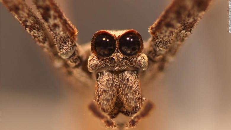 شاهد ما حدث عندما وضع باحثون أقطابا كهربائية في جسم عنكبوت