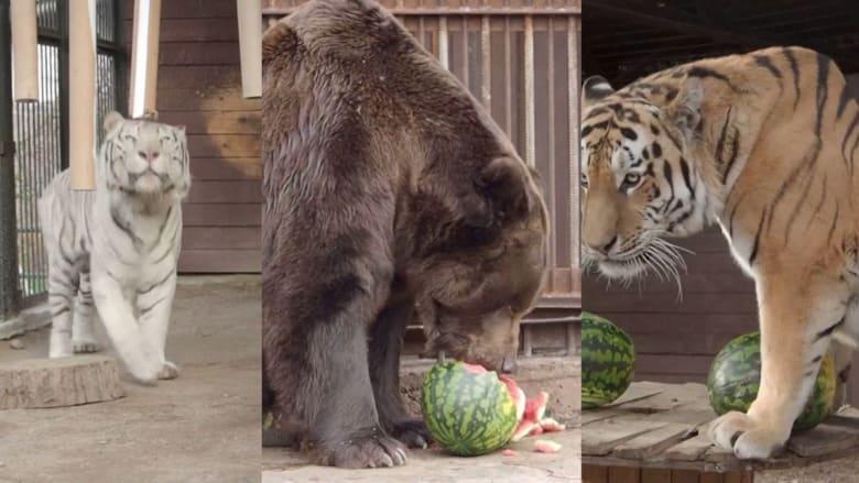 هذه الحيوانات في حديقة الحيوان.. تتنبأ بانتخابات الرئاسة الأمريكية