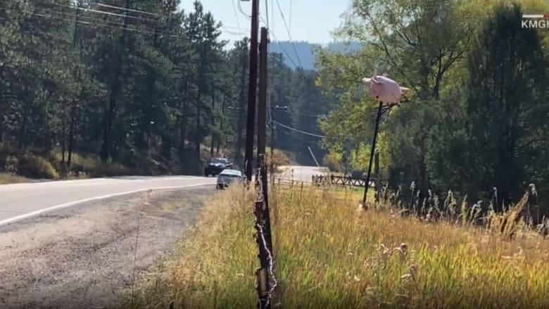 """شاهد رد فعل السائقين عندما رصدوا """"خنزيرا طائرا"""" بجانب طريق ريفي"""