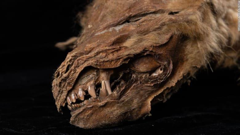 """""""الأقدم والأكثر اكتمالاً"""".. اكتشاف جرو ذئب يعود تاريخه إلى 57 ألف عام بكندا"""