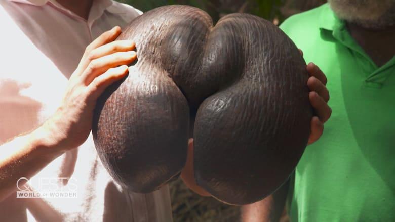 هذه هي أكبر وأثقل حبة جوز في العالم.. ولن تصدق شكلها