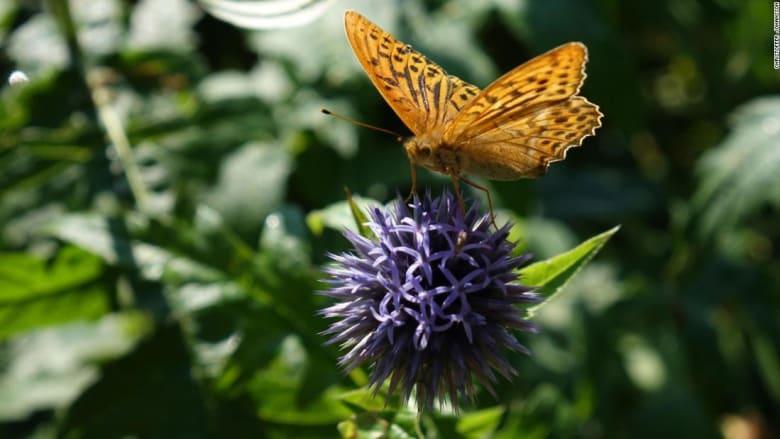 بعد أن كانت لغزاً.. علماء يتوصلون أخيراً إلى طريقة تحليق الفراشات