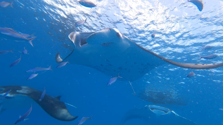 السباحة مع أسماك شيطان البحر في جزر المالديف.. لا تقترب منها كثيراً
