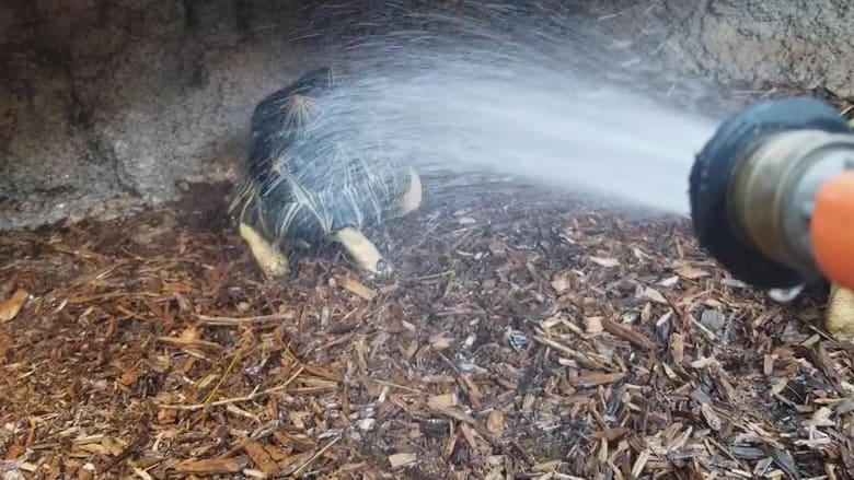قد تبهرك حركاتها.. شاهد هذه السلحفاة ترقص تحت الماء