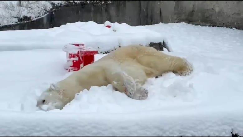 اترك كل شيء وشاهد هذا الدب القطبي يلعب بالثلج