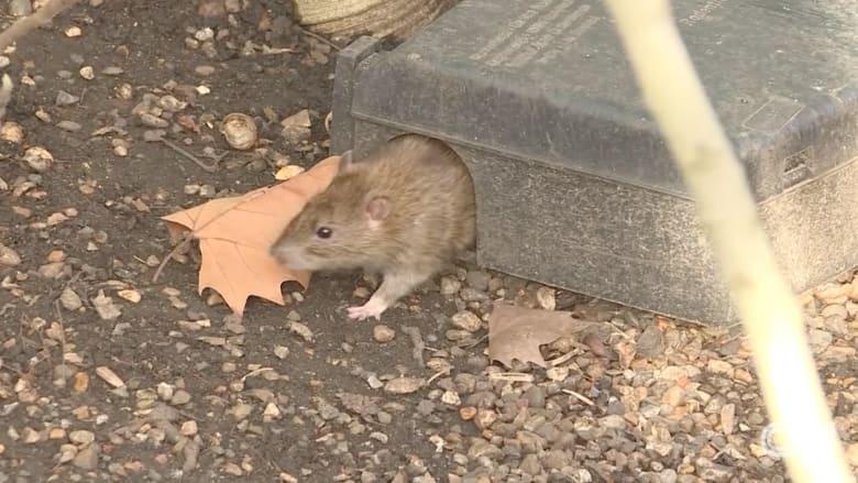 مخاوف من تدمير الفئران الخارقة للعاصمة البريطانية بعد ازدياد أعدادها بكثرة