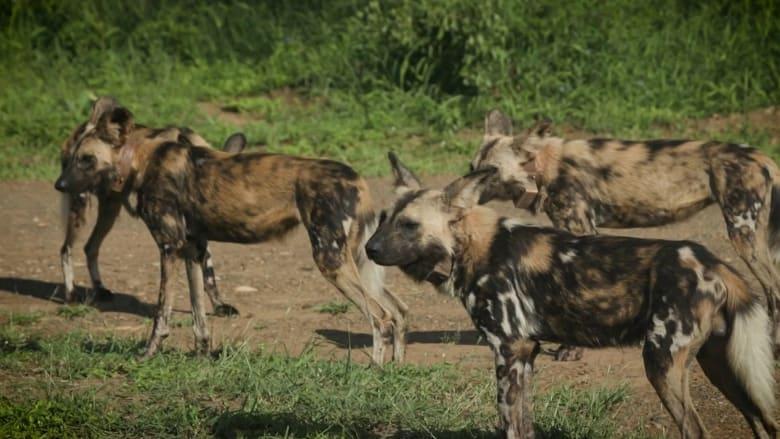 """تسمى بـ""""الذئاب الملونة"""".. شاهد جهود حماية الكلاب البرية في جنوب أفريقيا"""
