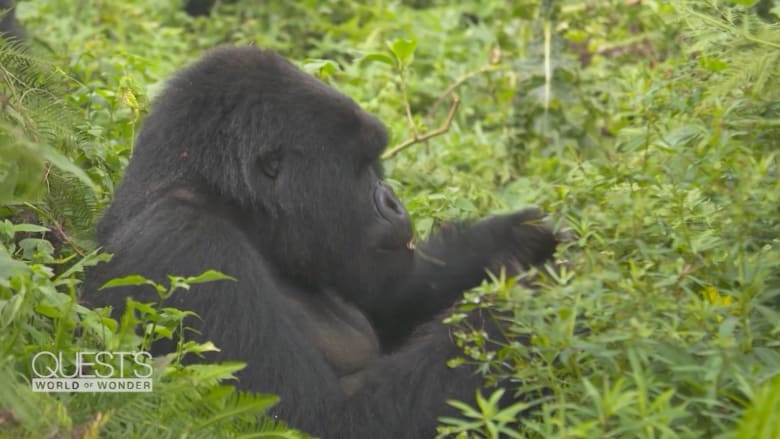 """ليست إلا بموقعين بالعالم.. شق طريقك عبر أدغال رواندا لإلقاء نظرة على """"الغوريلا الجبلية"""" الشهيرة"""