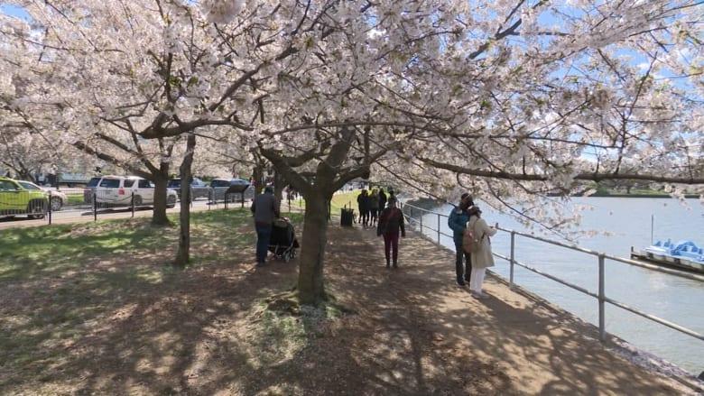 جولة افتراضية على أشجار الكرز والمشهد الوردي في واشنطن