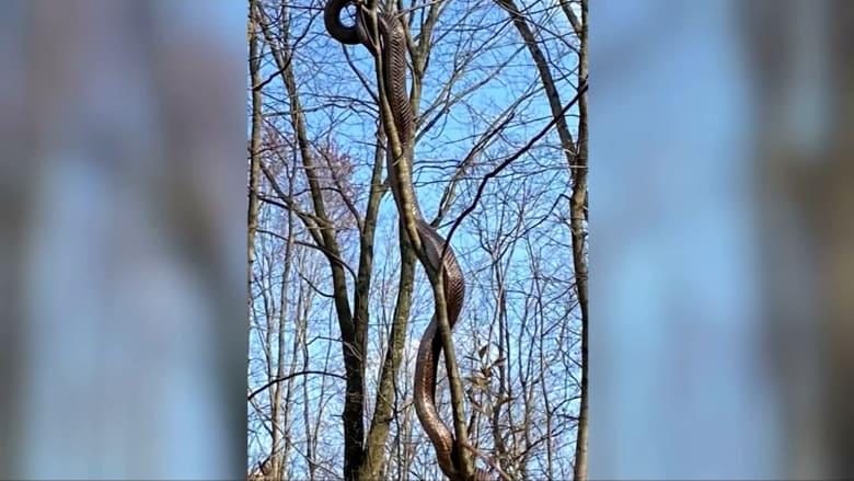 كانت تزحف على شجرة.. العثور على أفعى طولها 15 قدمًا بحديقة في أمريكا