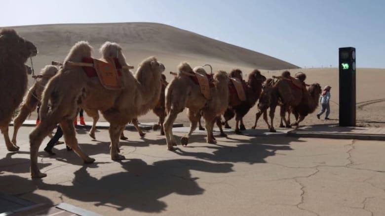 الصين تضع إشارة مرور في الصحراء.. للإبل