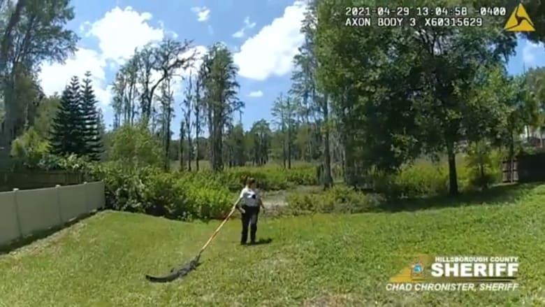شاهد جرأة نائب عمدة أمريكي تستخدم مكنسة خشبية لسحب تمساح إلى بركة