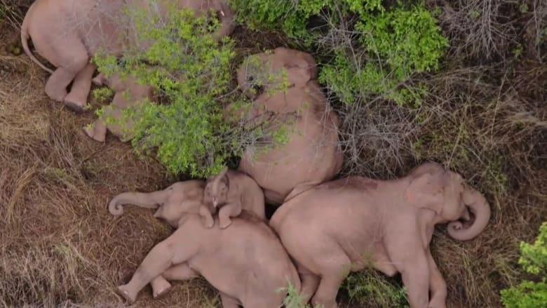 """مجموعة من الفيلة تأخد """"قيلولة"""" بعد السير في رحلة استمرت 500 كيلومتر"""