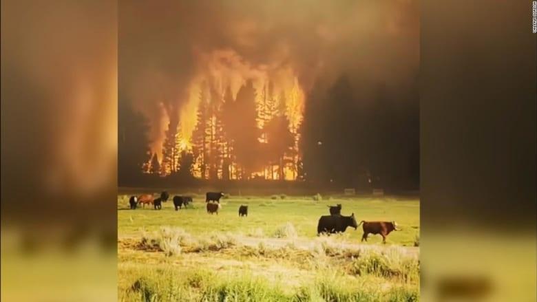 210721194221-tamarack-fire-cows-super-169.jpeg