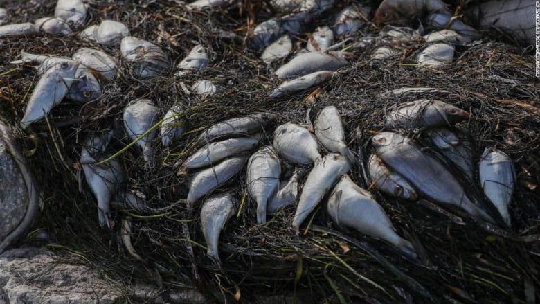 شاهد نفوق 600 طن من الأسماك بشكل غريب على شواطئ فلوريدا
