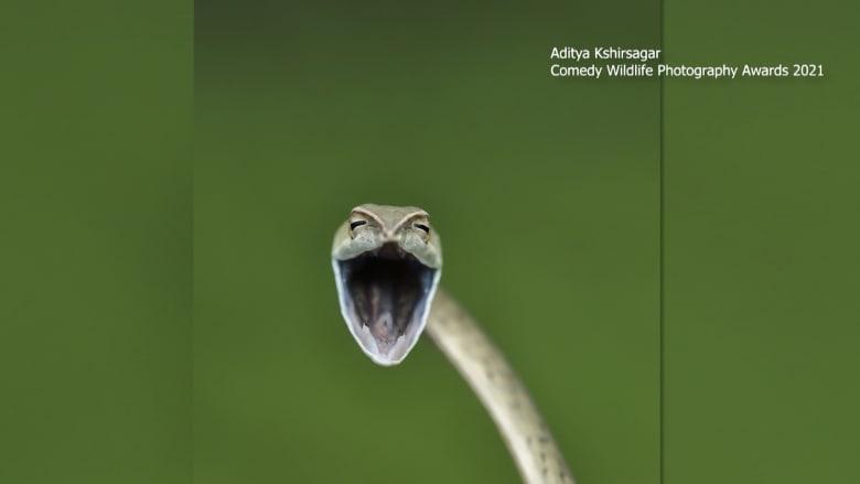 من أفعى ضاحكة إلى طائر عابس.. اكتشف الصور المرشحة لجوائز كوميديا الحياة البرية للتصوير الفوتوغرافي لعام 2021