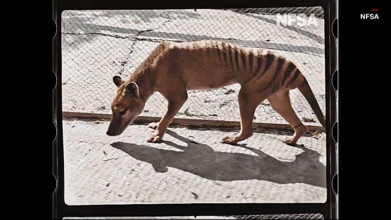 شاهد.. لقطات عمرها 100 عام لآخر نمر تسمانيا في حديقة حيوانات أسترالية