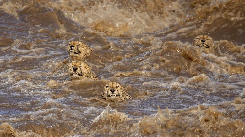 اعتقدت أنها لن تنجو.. مصورة توثق مشهدا يحبس الأنفاس لمجموعة فهود وهي تعبر نهرا هائجا في كينيا