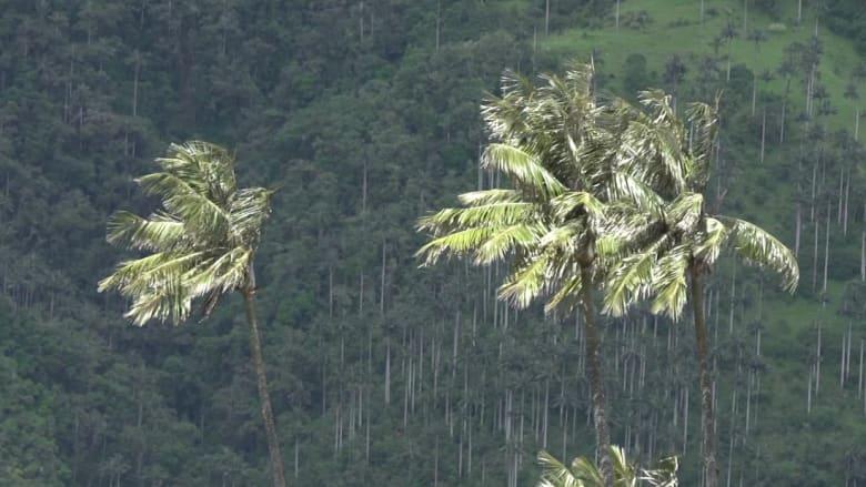 تخترق الغيوم.. شاهد أطول أشجار النخيل في العالم التي حيّرت العلماء لعقود