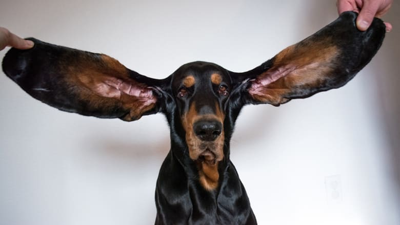 تعرف إلى الكلب صاحب أطول أذنين بالعالم والذي حطم الرقم القياسي بموسوعة غينيس