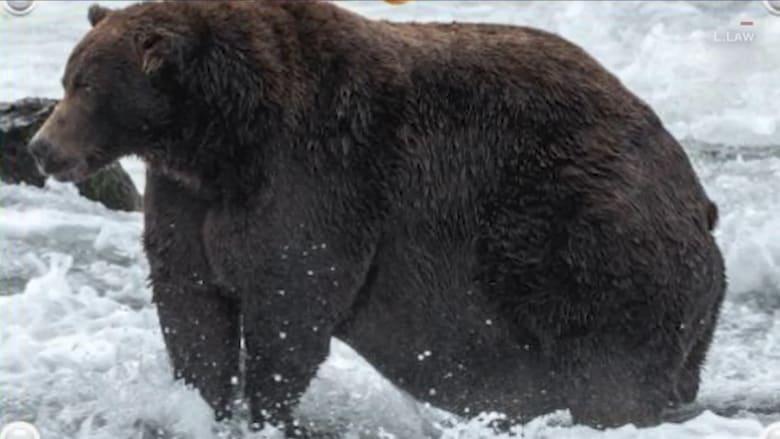 """شاهد.. مسابقة في حديقة بألاسكا احتفالا بـ""""أسبوع الدببة السمينة"""""""