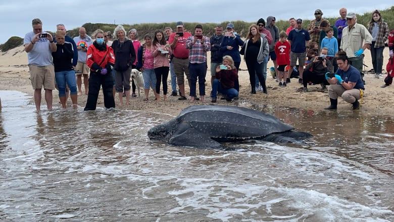 شاهد.. منقذون يعيدون سلحفاة عملاقة وزنها 272 كيلوغرامًا إلى المحيط بعدما علقت في شاطئ
