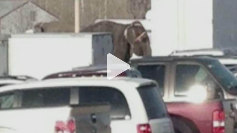 فيلة تهرب من استعراض وتدمر سيارات الجمهور