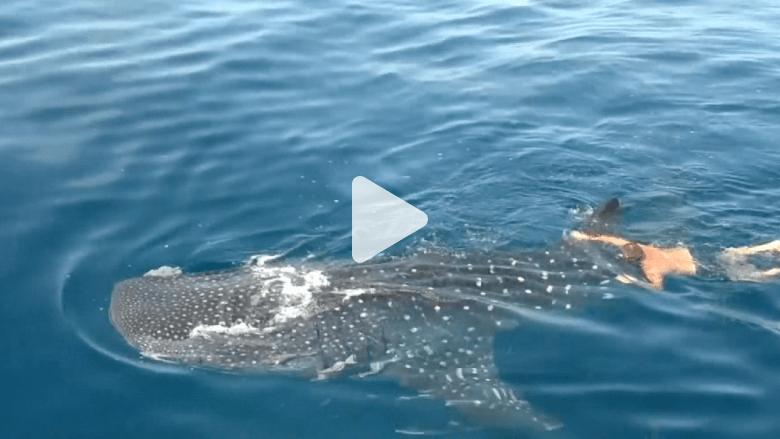 رجل يسبح مع القرش الحوت .. فيقع في مخالفة للقانون