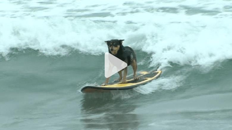 كلاب تركب الأمواج.. ومسابقة لأطول شارب ولحية