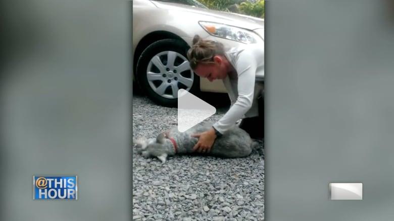 هل سبق أن رأيت كلبا يغمى عليه من الحماس؟
