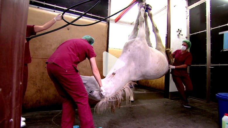 كيف تتم معاينة ومعالجة الخيول في أكبر وأحدث عيادة في العالم؟