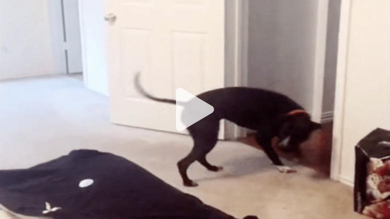 شاهد: كلب يهزم مرضه النفسي بدخول الأبواب عكسيا