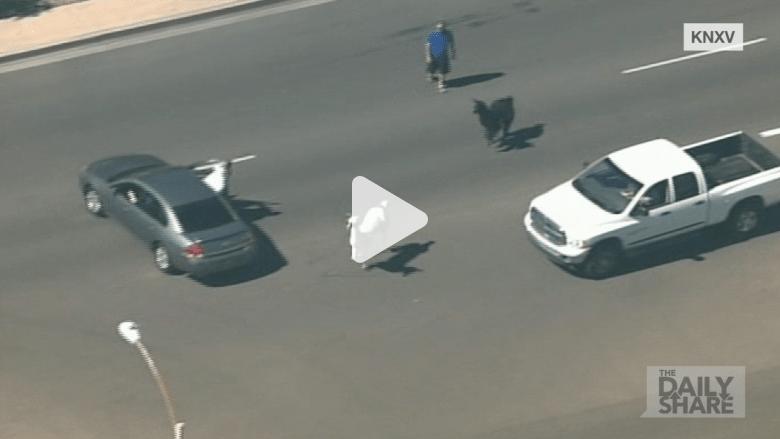 بالفيديو.. حيوانات لاما طليقة تحاول الفرار من الشرطة في الشارع