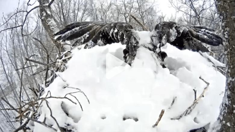 شاهد مثابرة نسر بحماية البيض رغم الثلوج