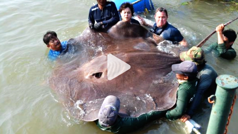 شاهد.. هذه قد تكون أكبر سمكة تم اصطيادها في التاريخ