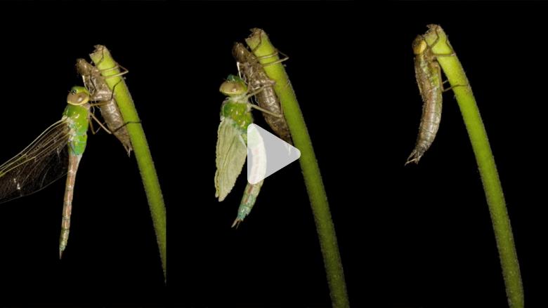 شاهد.. عملية تحول اليعسوب كما لم تشاهدها من قبل بتقنية الفاصل الزمني