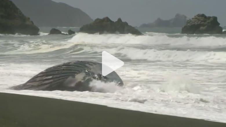 بالفيديو.. الأمواج تجرف حوتًا نافقًا عملاقًا على أحد شواطئ كاليفورنيا