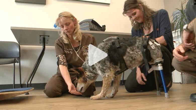 كلبة تحصل على قدمين صناعيتين بعد معاناة طويلة مع الإساءة