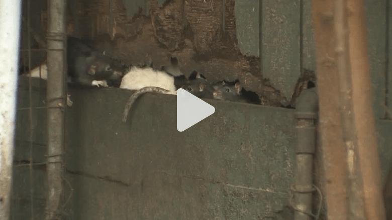 بالفيديو.. امرأة ترغم على مغادرة منزلها بعدما حولته مأوى لآلاف الجرذان