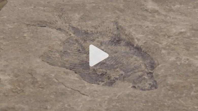 بالفيديو.. العثور على سمكة متحجرة في أحفورة عمرها 60 مليون سنة