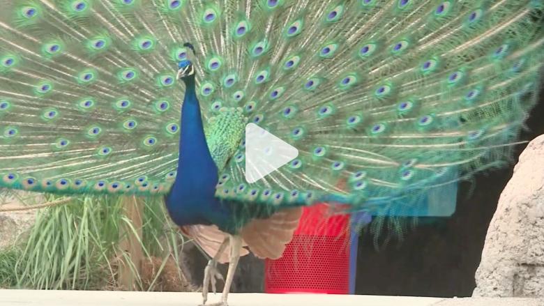 ذكر طاووس يغرس مخالبه برأس طفل قاطعه أثناء التزاوج