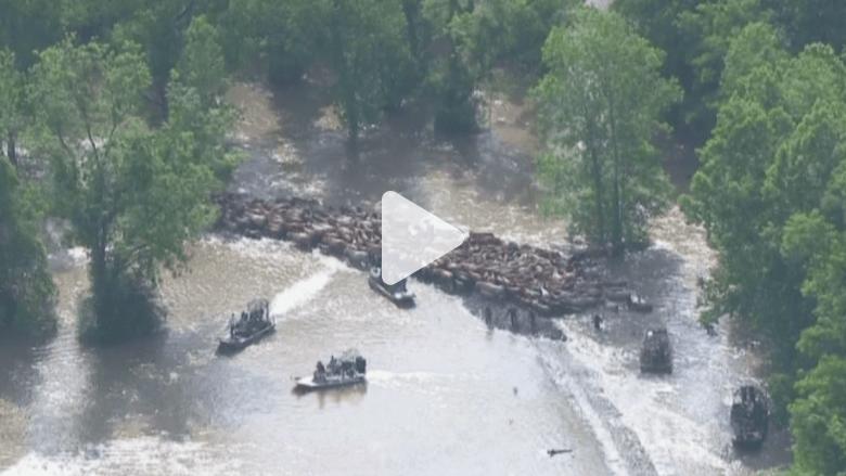 بالفيديو.. رعي الأبقار بالقوارب.. تقليد جديد فرضته فيضانات تكساس