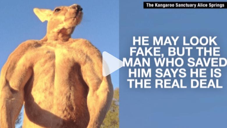 بالفيديو.. تعرف على روجر.. كنغر مفتول العضلات