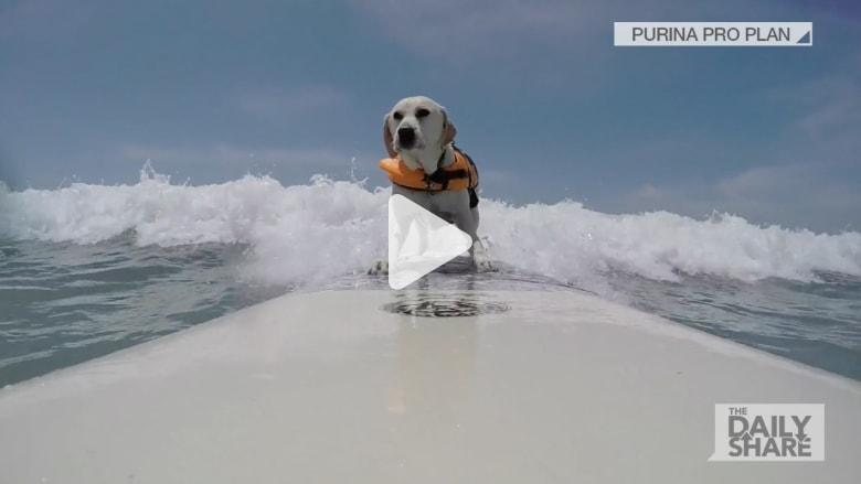 شاهد بالفيديو.. كلاب تركب أمواج البحر