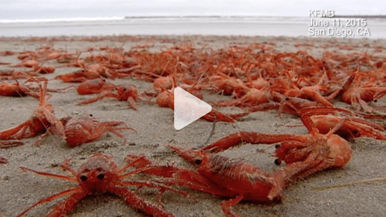 آلاف السرطانات الحمراء تحتل شاطئا في كاليفورنيا