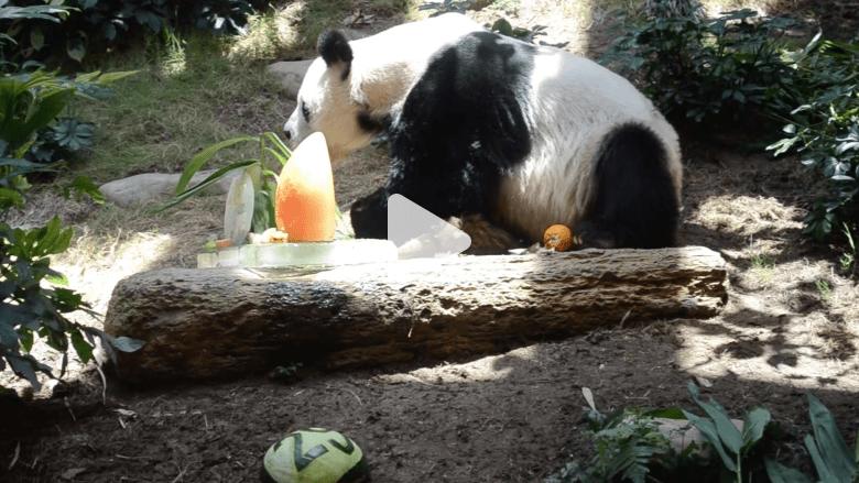 بالفيديو.. باندا معمرة تحتفل بعيد ميلادها الـ 37 في الصين