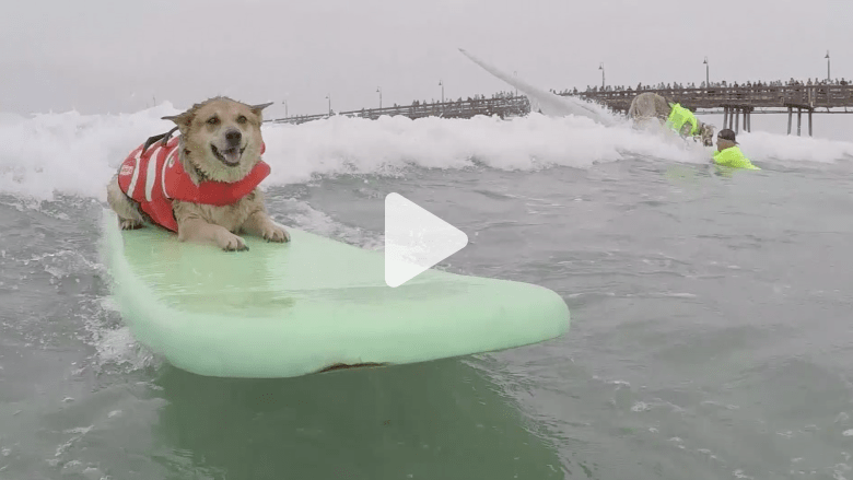 بالفيديو.. كلاب تتنافس في ركوب الأمواج
