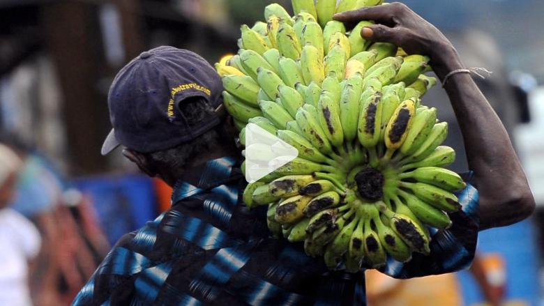 هل تنقرض فاكهة الموز.. مرة أخرى؟